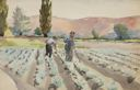 Image of Cabbage Weeding in Utah County