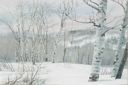 Image of Winter Birches